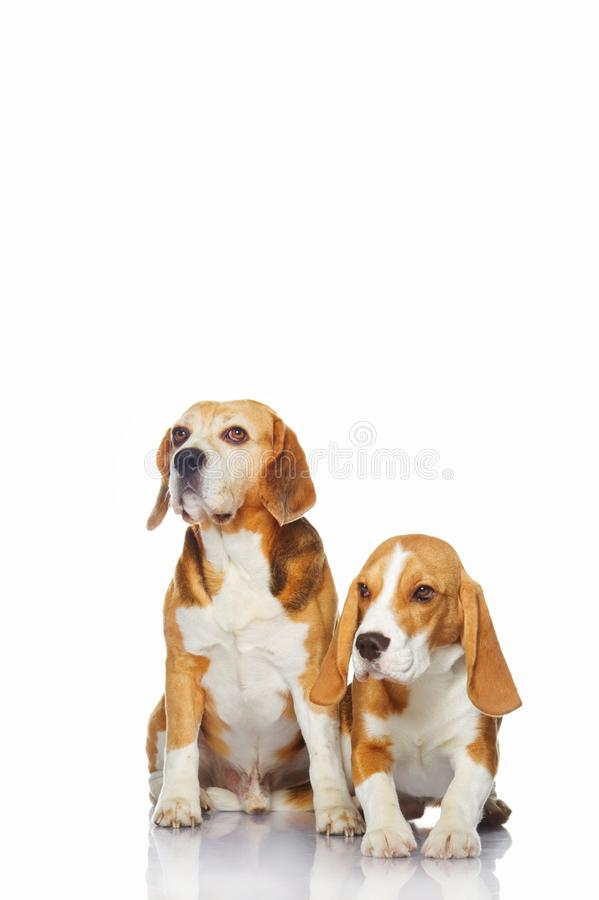 Beagle dogs isolated on white background. stock photo