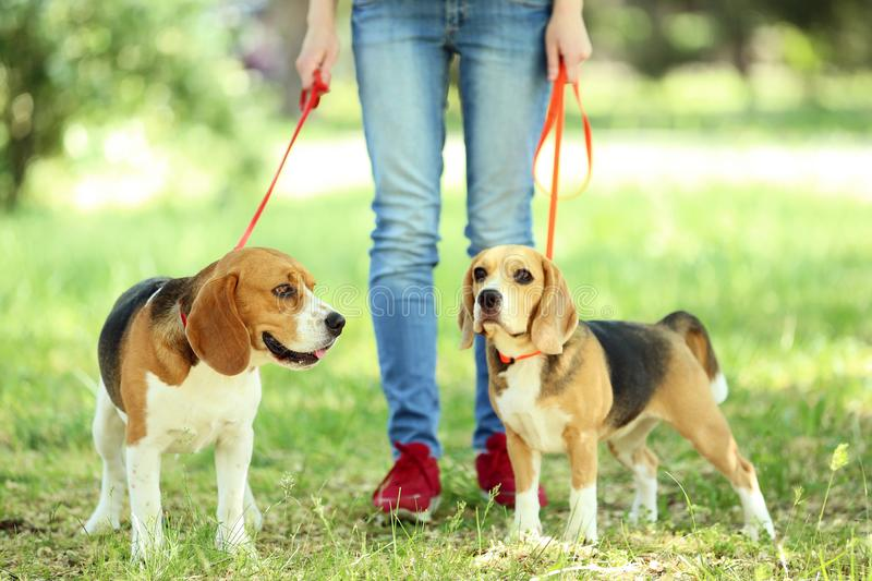 Beagle dogs in the park stock photography