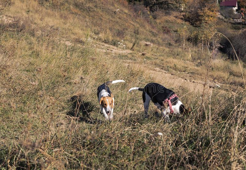 Beagle dogs playing in autumn fields royalty free stock photo