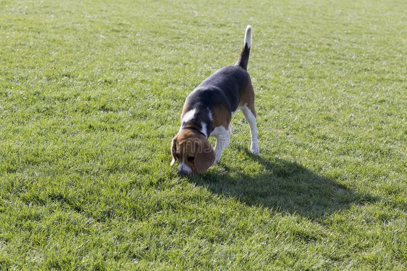 Beagle dogs stock images