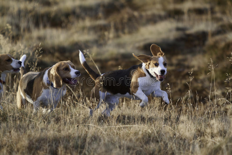 Download Beagle dogs running. stock image. Image of jump, grass - 16953113