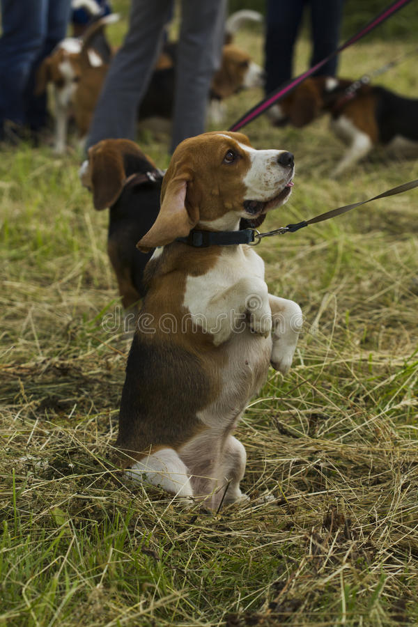 Beagle dogs, sitting on its hind legs. Dog beagle on a leash with a collar, sitting on its hind legs in the grass mown summer day royalty free stock photography