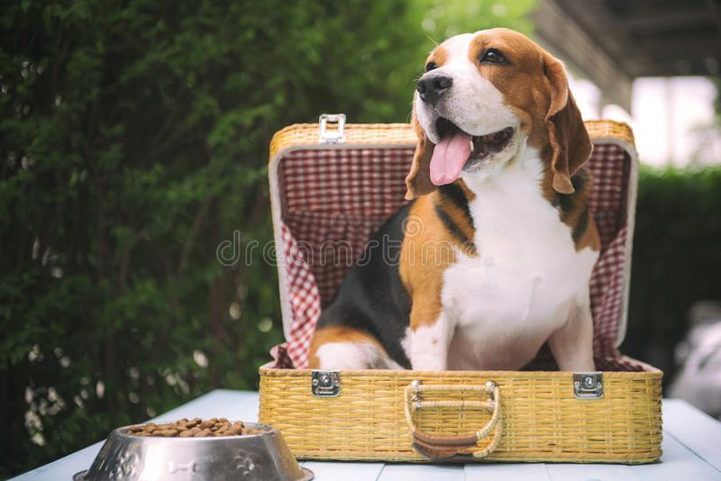 Beagle dogs are standing stock photography