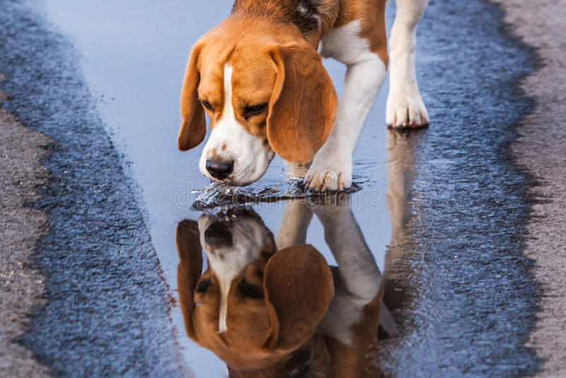 Beagle drinking from a puddle royalty free stock images