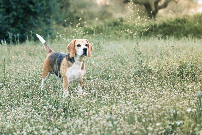 Beagle en el campo fotografía de archivo