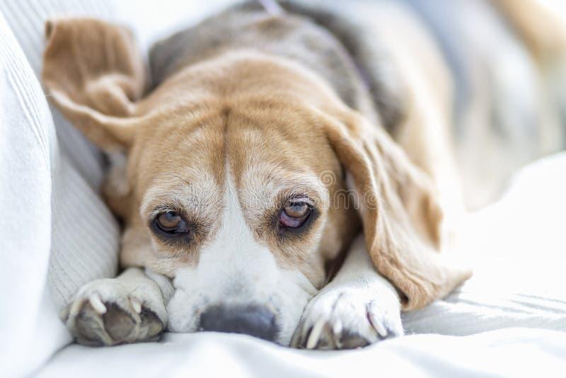 Beagle en el sofá fotos de archivo