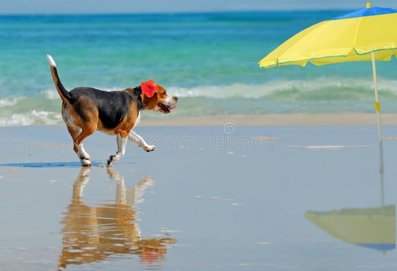 Beagle en la playa imagen de archivo