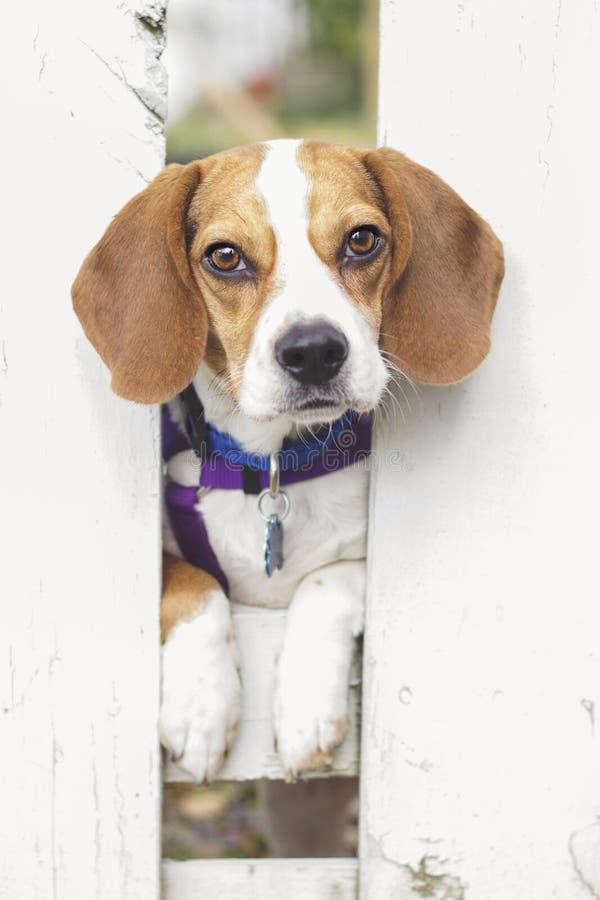 Beagle en la playa, Oregon foto de archivo libre de regalías