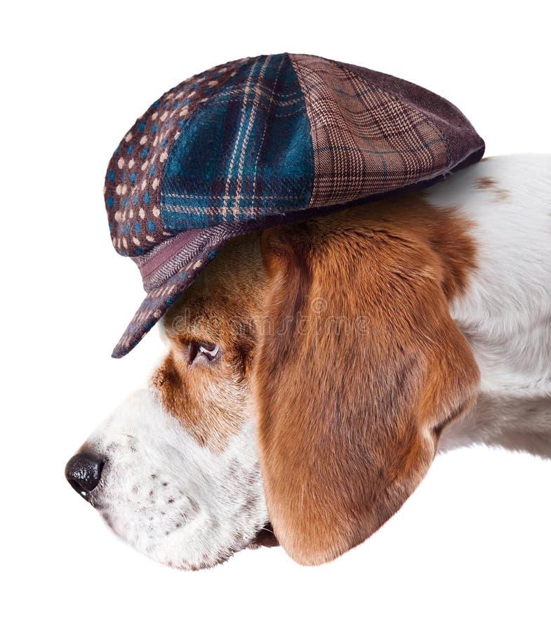 Beagle en sombrero imagenes de archivo