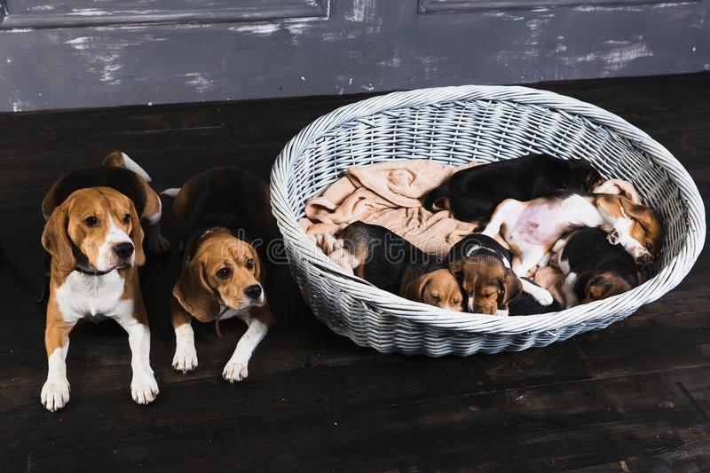 Beagle family sitting in the studio royalty free stock images