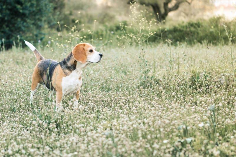 Beagle femenino fotografía de archivo libre de regalías