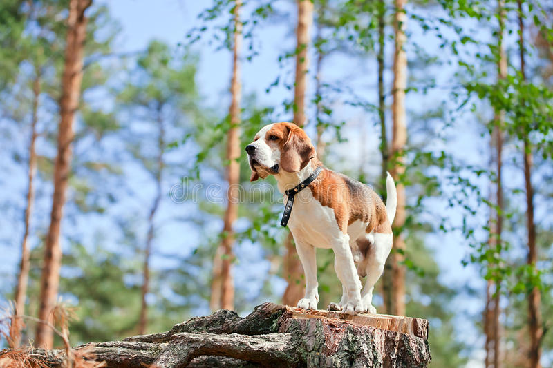 Beagle in forest stock photo
