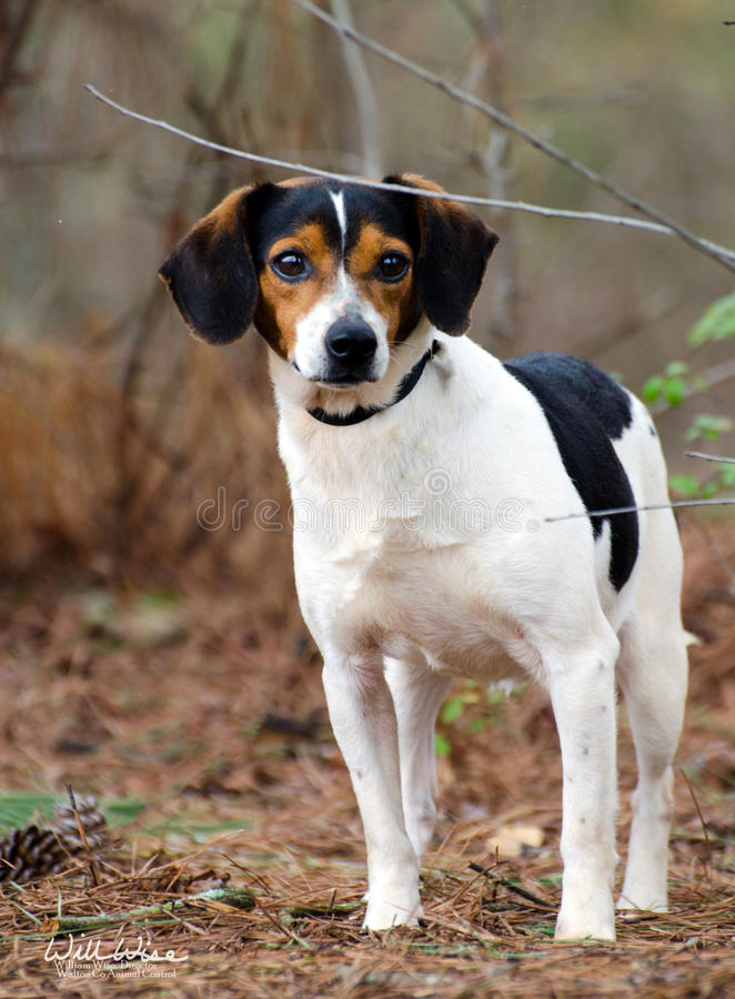 Beagle Terrier Mix Full Grown | www.pixshark.com - Images ...
