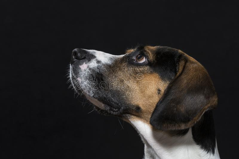 Beagle in front of black background royalty free stock image