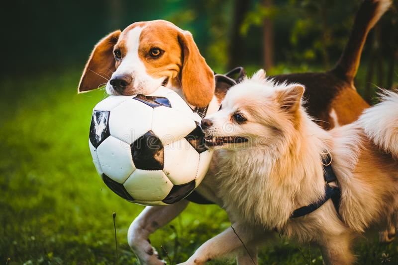 Beagle and german spitz klein playing together with football ball and running in green park garden. Beagle and german spitz klein tug of war with football ball stock image