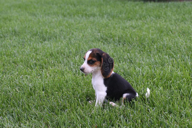 Beagle in the Grass stock image