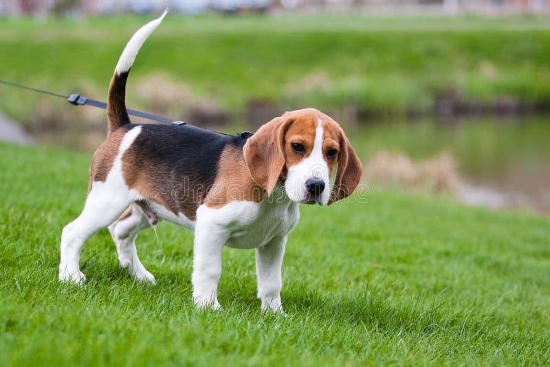 Beagle on green grass royalty free stock photos