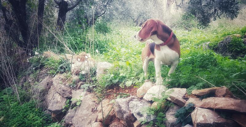 Beagle in Green royalty free stock images