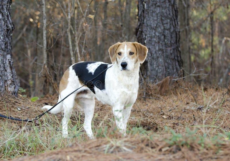 Beagle Harrier mixed Breed Hound Dog on leash royalty free stock photo