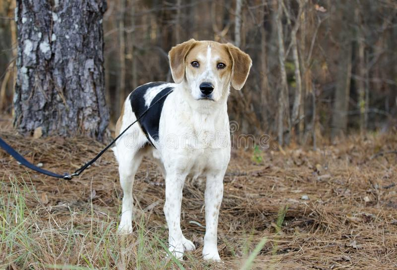 Beagle Harrier mixed Breed Hound Dog on leash. Male, tri-colored Somerset Harrier, Istrian Hound, mixed breed hound dog. Outdoor animal shelter adoption stock images