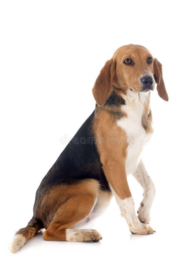 Beagle Harrier stock image