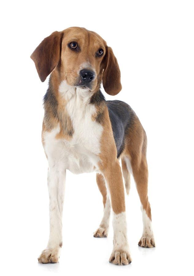 Beagle Harrier stock photo