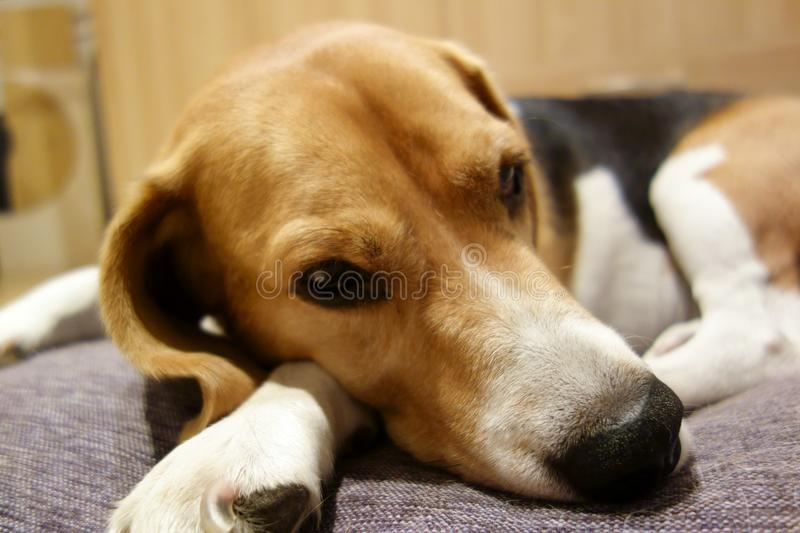Dog staying on his bed royalty free stock photography