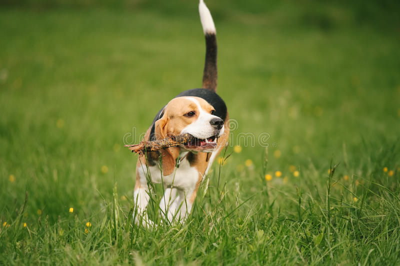 Beagle holding stick royalty free stock photos
