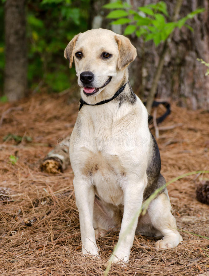 Beagle Hound Mixed Breed Dog. Walton County Animal Control, humane society adoption photo, outdoor pet photography royalty free stock images