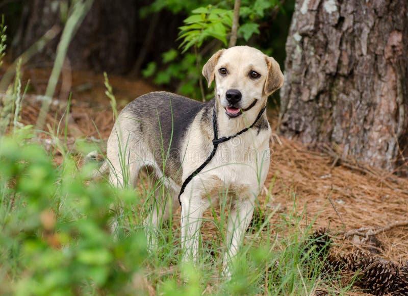 Beagle Hound Mixed Breed Dog. Walton County Animal Control, humane society adoption photo, outdoor pet photography stock photos