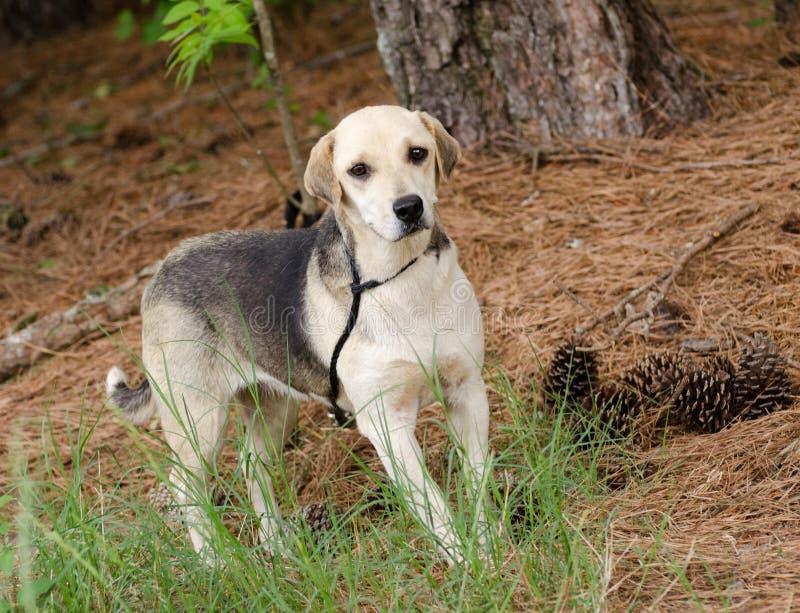 Beagle Hound Mixed Breed Dog. Walton County Animal Control, humane society adoption photo, outdoor pet photography stock images
