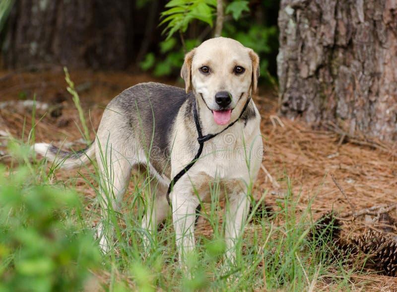 Beagle Hound Mixed Breed Dog. Walton County Animal Control, humane society adoption photo, outdoor pet photography royalty free stock photos