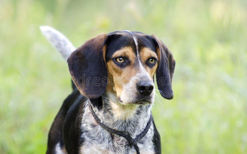 Beagle hound rabbit dog royalty free stock photo