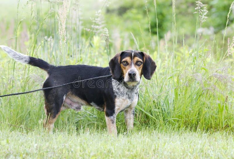 Beagle hound rabbit dog royalty free stock photography