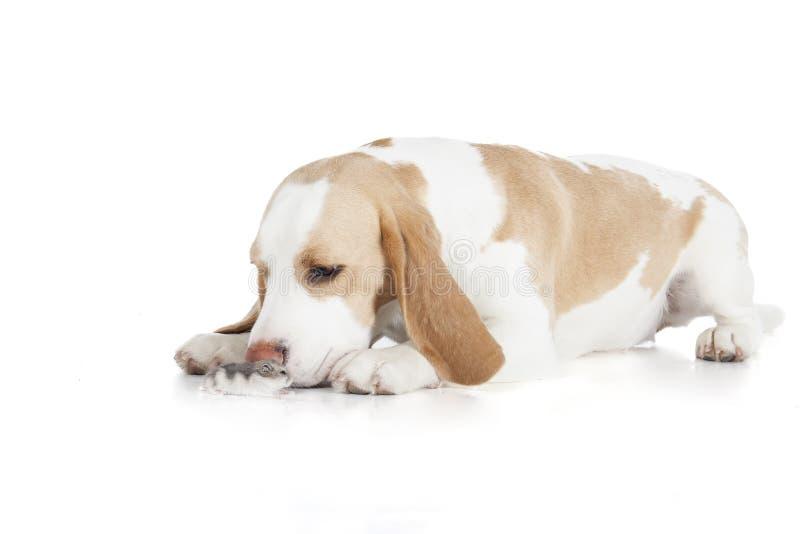 Beagle i dzhungar chomik odizolowywający zdjęcie royalty free