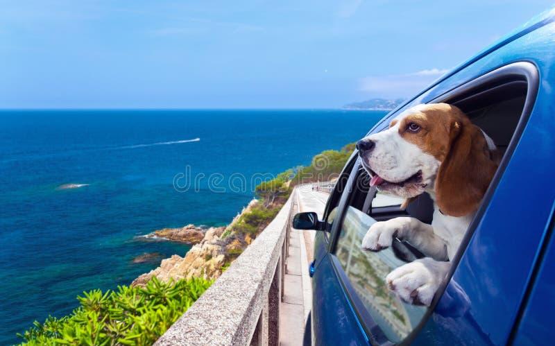 Beagle i en blå bil royaltyfria bilder