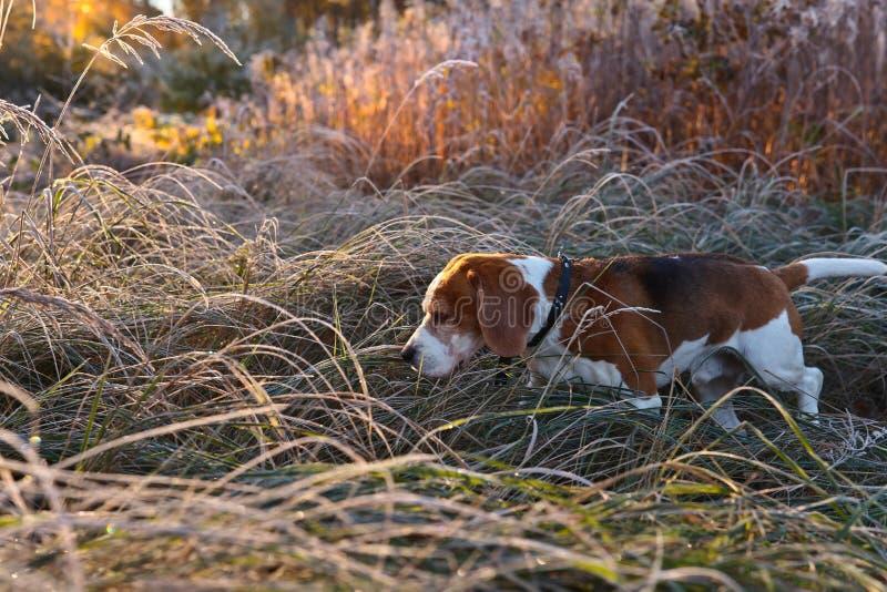 Download Beagle i ottan i höstskog fotografering för bildbyråer. Bild av breckenridge - 78730135