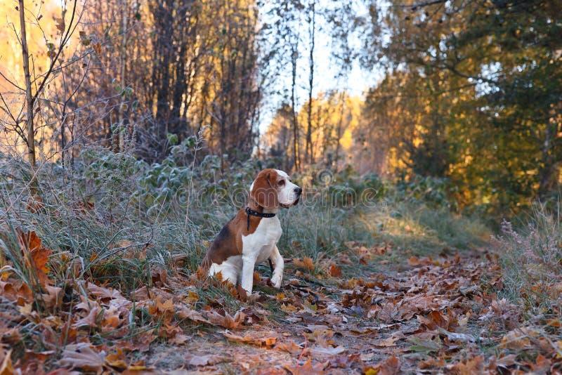 Download Beagle i ottan i höstskog arkivfoto. Bild av trä, morgon - 78730180