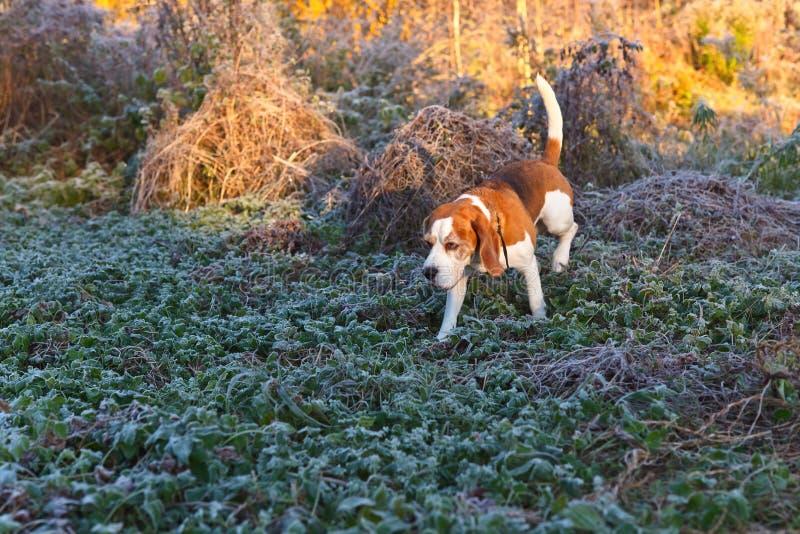 Download Beagle i ottan i höstskog arkivfoto. Bild av utomhus - 78732310