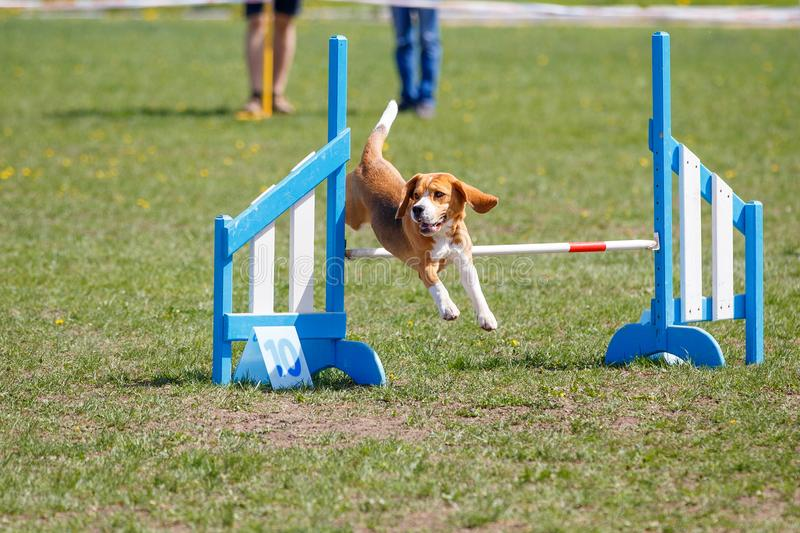 Dog jumping over hurdle in agility competition. Beagle jumping over hurdle in agility competition royalty free stock image