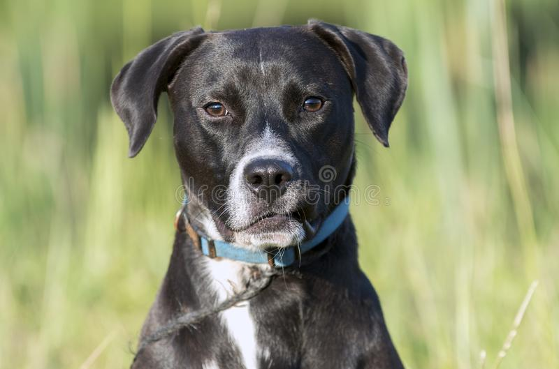 Beagle Labrador mixed breed dog with blue collar and leash royalty free stock photography