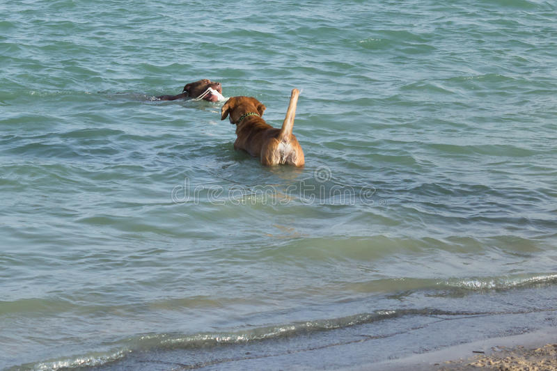 Beagle mix watching pit bull mix retrieve toy in water stock photo