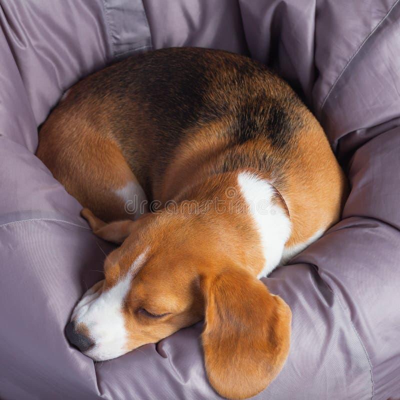 Beagle na miękkim krześle obraz stock