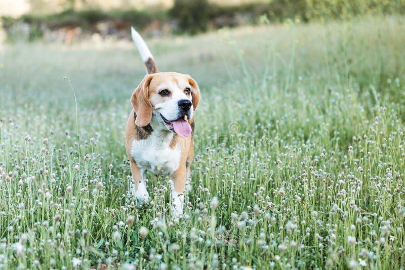 Beagle nacional fotos de archivo