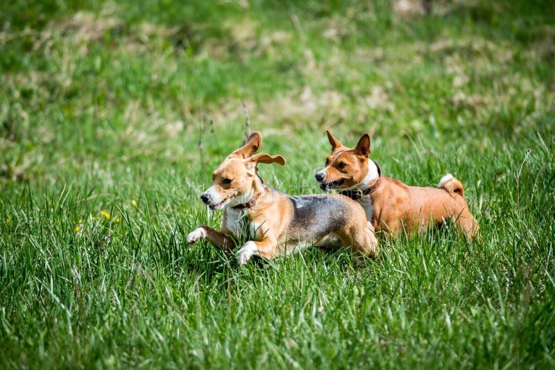 Beagle- och Basenji körning royaltyfria foton