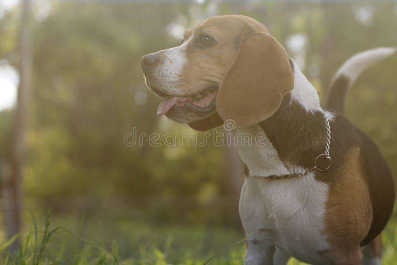 Beagle på en parkera royaltyfri bild