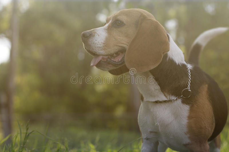 Beagle on a park royalty free stock image