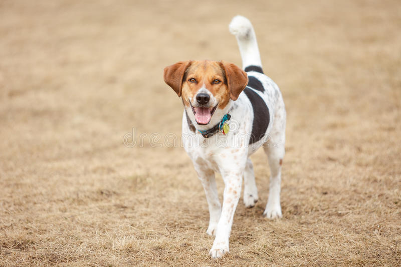 Beagle in the park royalty free stock photography