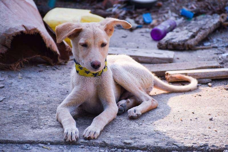 Beagle pet dog royalty free stock photo