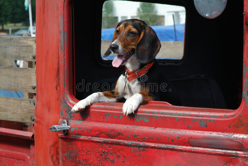 Beagle in Pickup royalty free stock image
